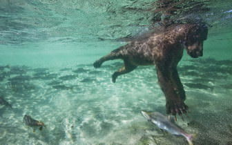 Bear Hunting For Salmon