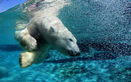 Diving Polar Bear Wallpaper