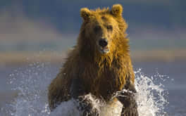 Wet Bear Picture