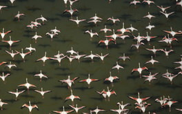 Aerial View Of Flamingos