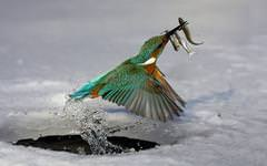 Bird Catching Fish