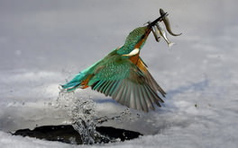 Bird Hunting For Fish