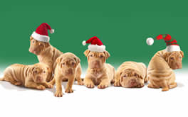 Christmaspuppies Wallpaper on Christmas Puppies Wallpaper 264x165 1012064 Jpg