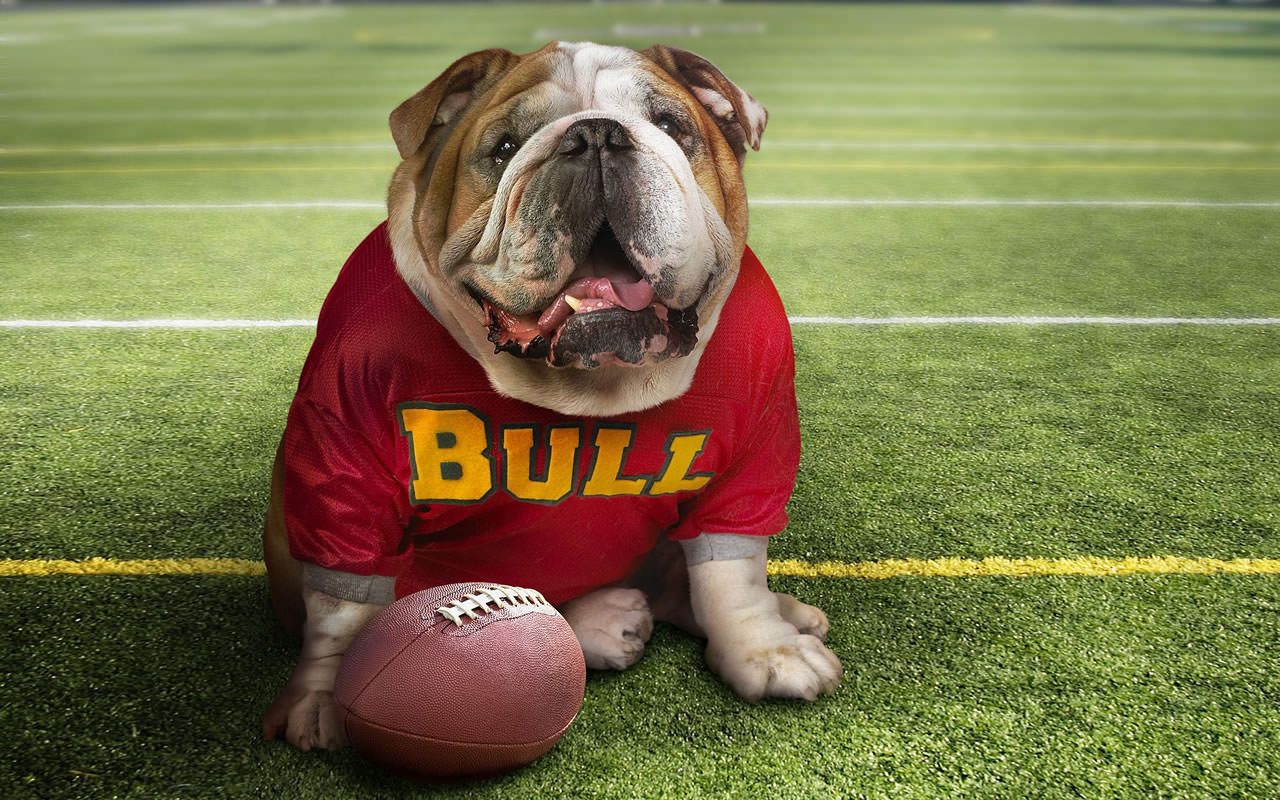 cute-bulldog-wallpaper-1280x800-1006031.jpg