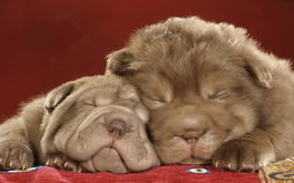 Sleeping Shar Pei Puppies