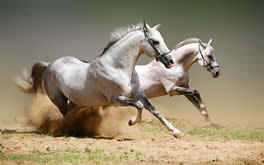 Amazing White Horses Background