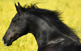 Beautiful Black Horse Photo