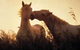 Horses in Love Wallpaper
