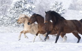 Norwegian Horses Background