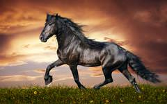 Wonderful Black Horse