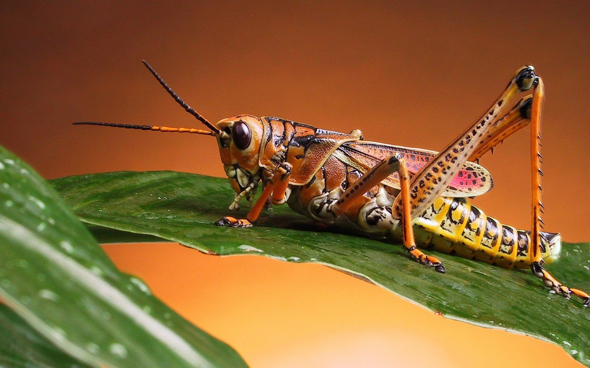 cricket Insects Wallpapers Animals Nature Backgrounds