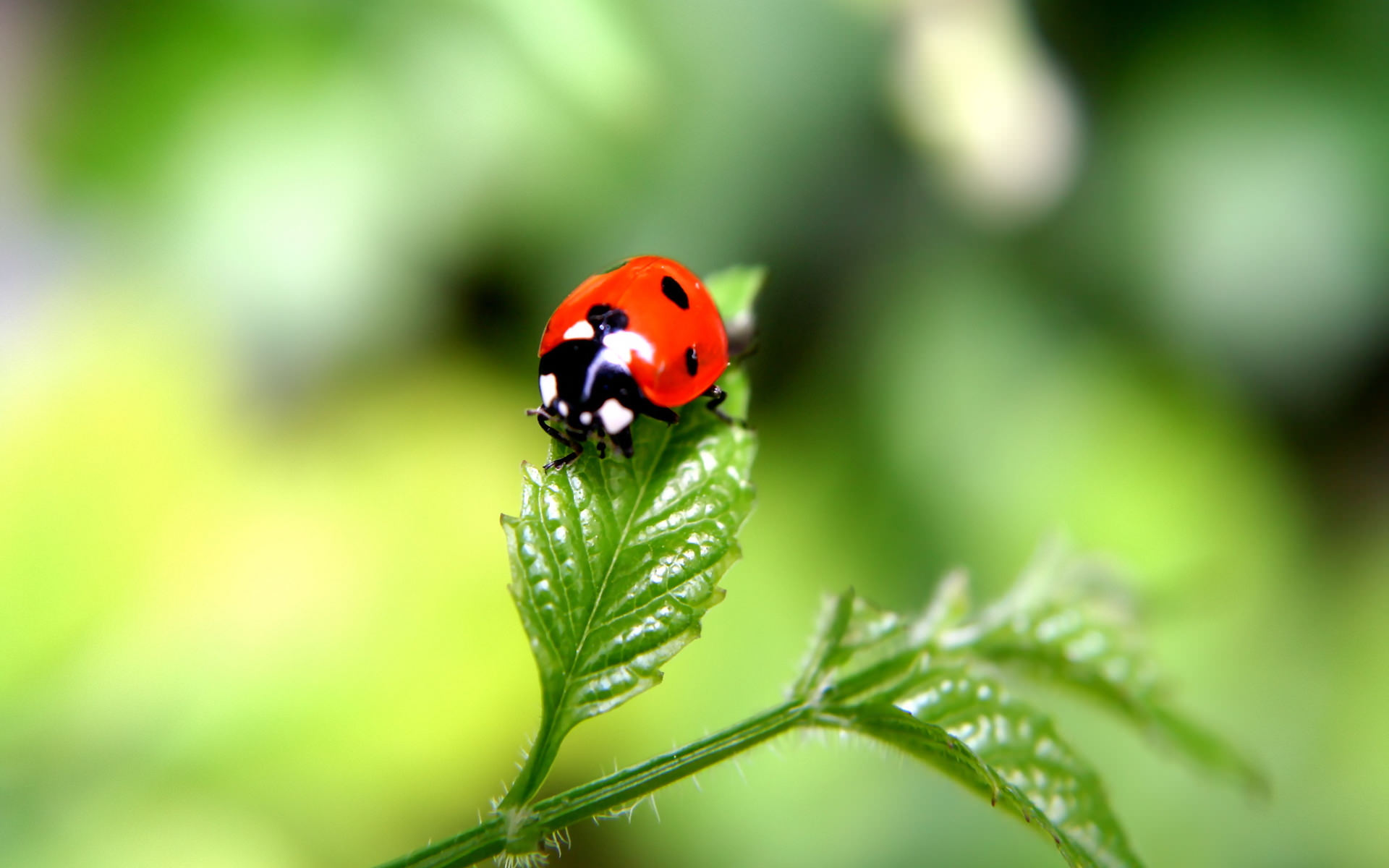 insects ladybirds desktop wallpapers - photo #6