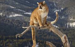 Amazing Mountain Lion