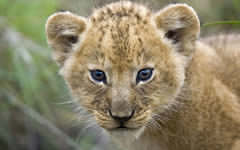 <h1>Lion Cub Wallpaper</h1>