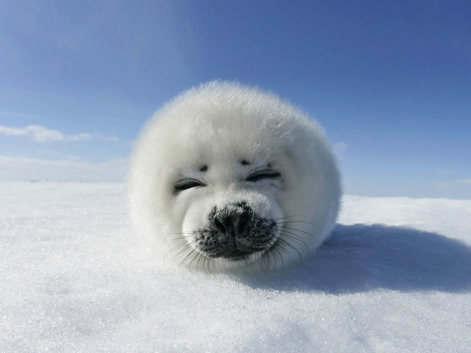 Baby Seal Wallpaper 1600x1200.