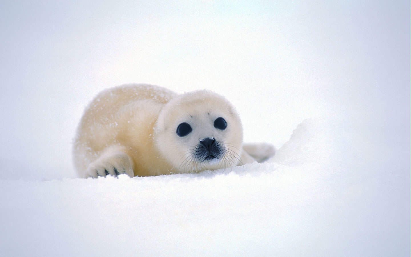 Cute Baby Seal Background 1440x900