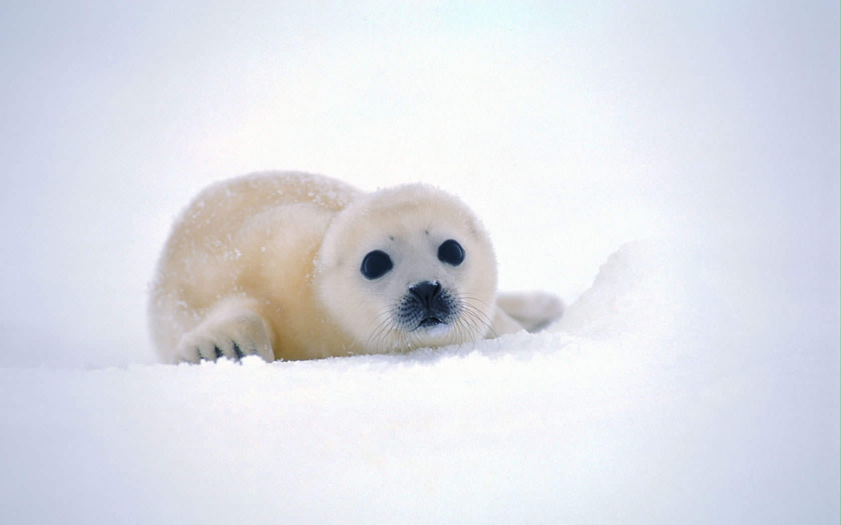 Cute Baby Seals 9361 Hd Wallpapers: Cute Baby Seal Background 1680x1050