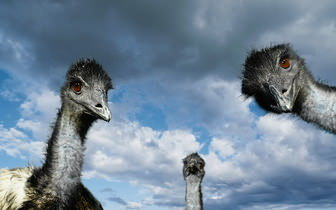 Ostrich Desktop Background