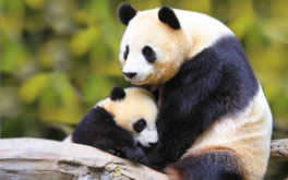 Baby Panda With Mother
