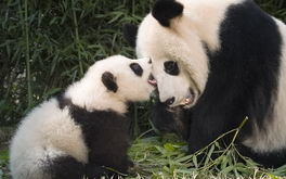 Giant Panda And Cub Playing