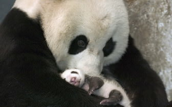 Panda Mother And Baby