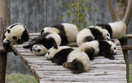 Pandas Sleeping Wallpaper