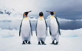 3 Funny Penguins Background