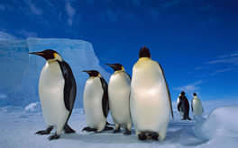 Fantastic Emperor Penguins Wallpaper