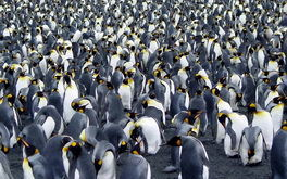 Million Penguins