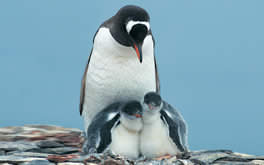 Penguin Family Wallpaper