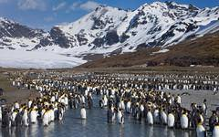 Thousands Of Penguins