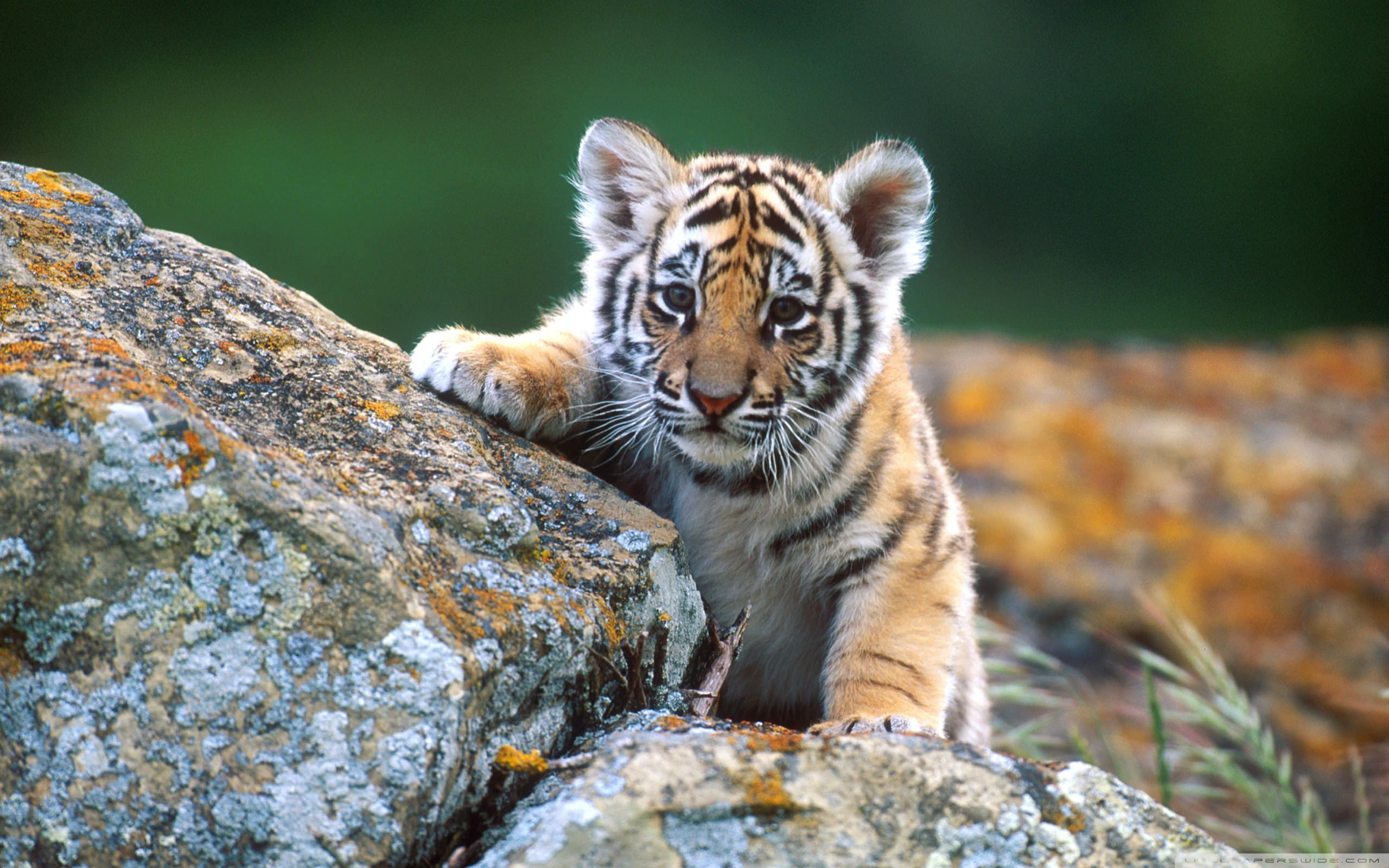 Tiger Cub Wallpaper 2560x1600