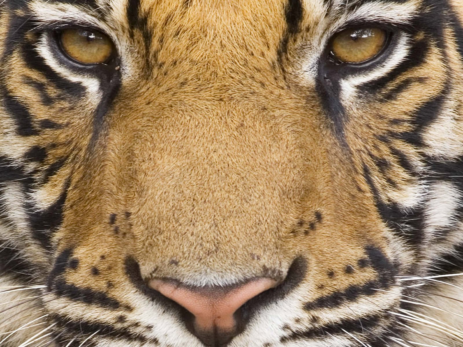 Animal Tiger Wallpapers