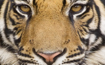 tiger desktop background