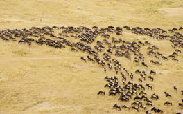 Aerial View Of Wildebeest
