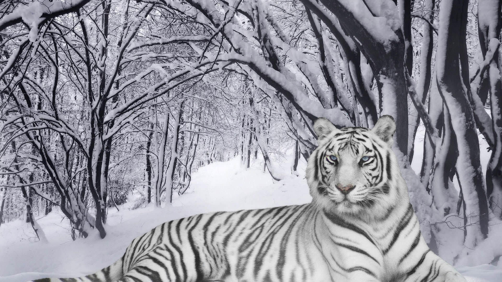 White Tiger Wallpaper 316953