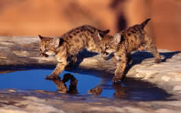 Baby Cougar Cubs Wallpaper