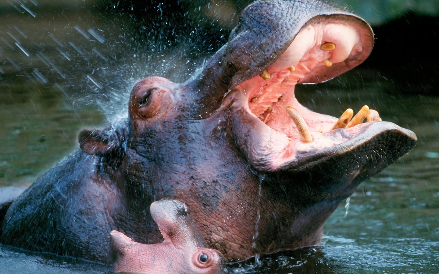 Bathing Hippopotamuses Wallpaper 1440x900