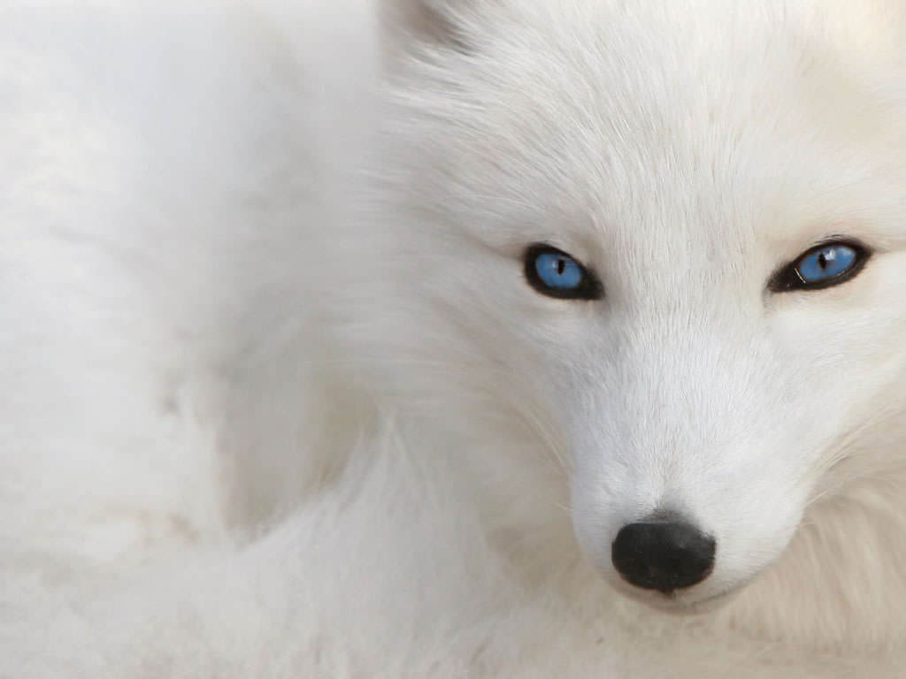 Jack Fox  Pure-white-fox-wallpaper-1024x768-1004034