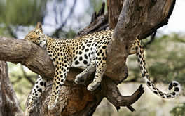 Sleeping Leopard Wallpaper