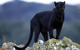 Superb Panther Wallpaper
