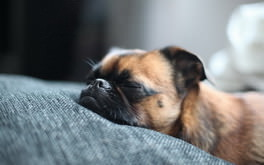Brown Pug Sleeping