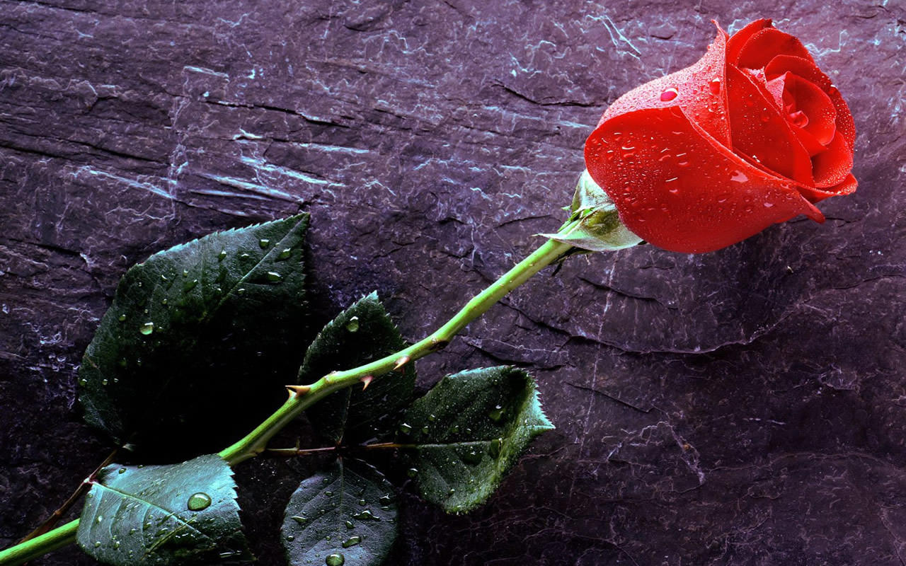Beautiful red rose wallpaper 1280x800 0151