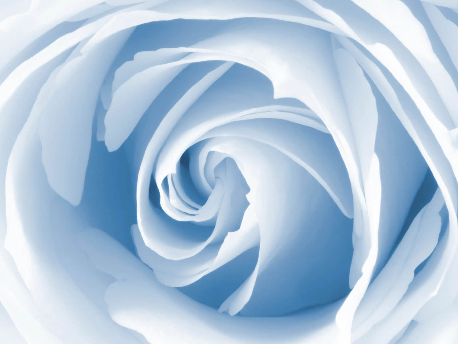 Blue Rose Picture 1600x1200