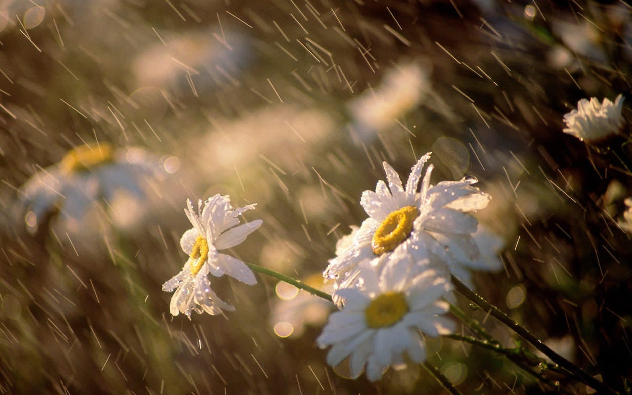 Daisies Under Rain Wallpaper 1280x800