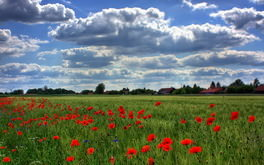 Field Of Poppies Wallpaper