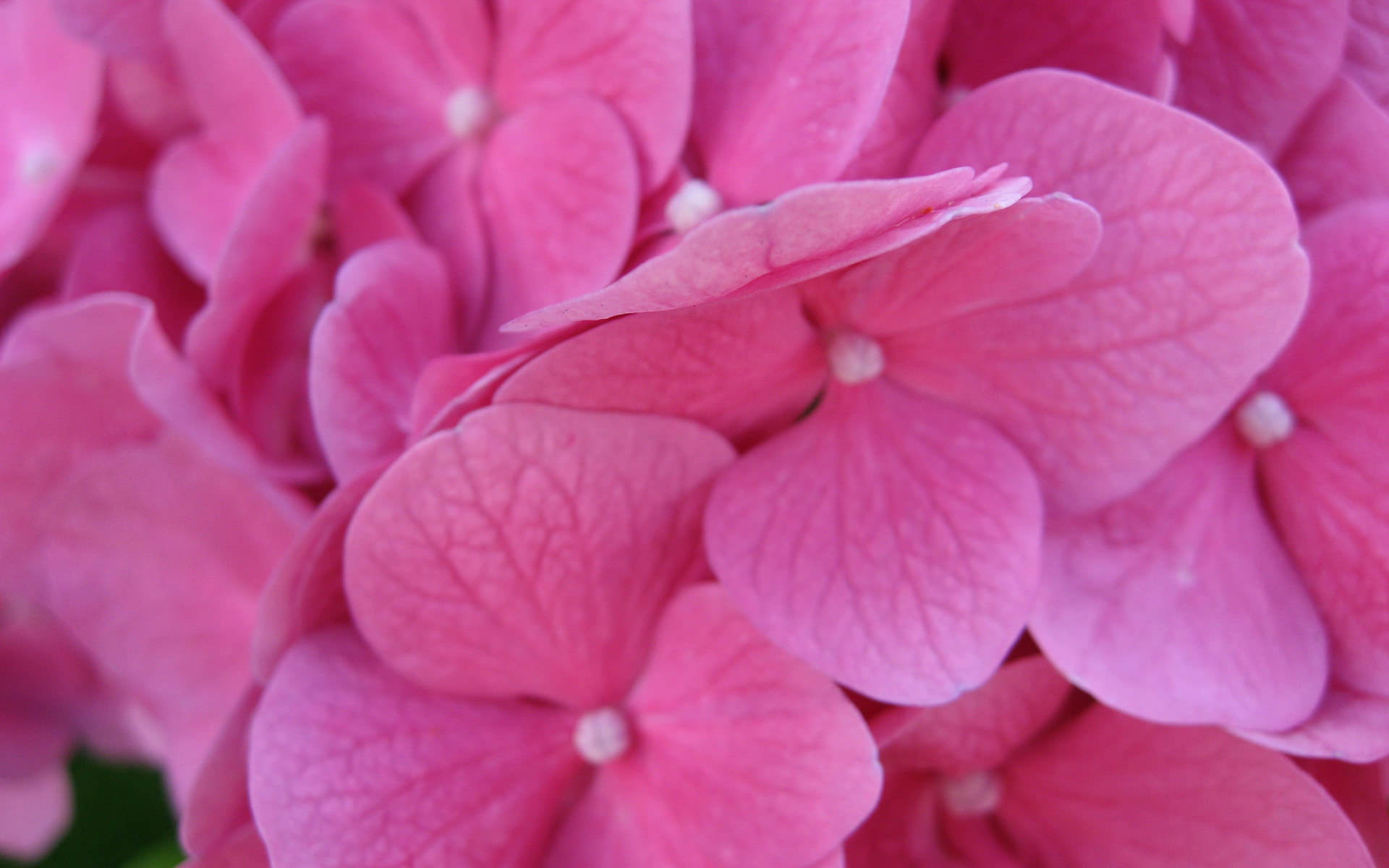 pink flower wallpapers for - photo #44