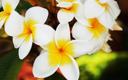 Hawaiian Flower Wallpaper