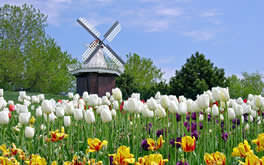Holland Tulip Wallpaper