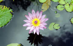 <h1>Lotus Flower Wallpaper</h1>